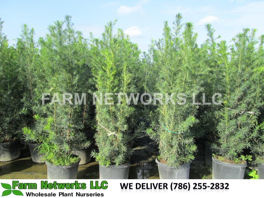 Podocarpus Hedge Plant 15 Gallon