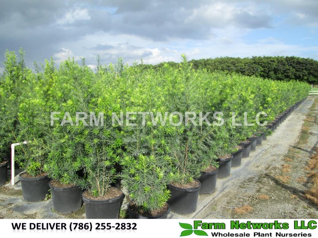Podocarpus Hedge Plant 3 Gallon