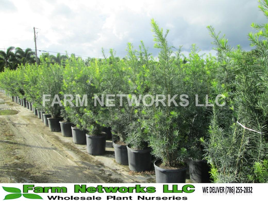 Podocarpus hedges