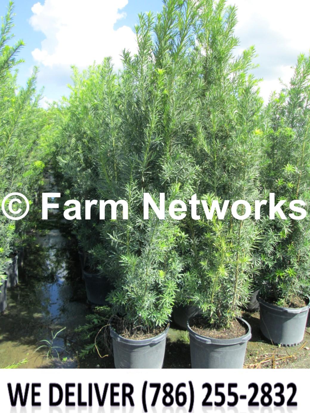Podocarpus Plant-Privacy-Miami