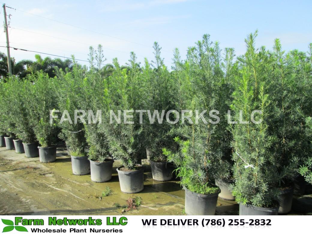 Podocarpus Plant-Privacy-Palm Beach