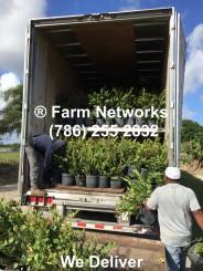 Redtip Cocoplum-Hedges