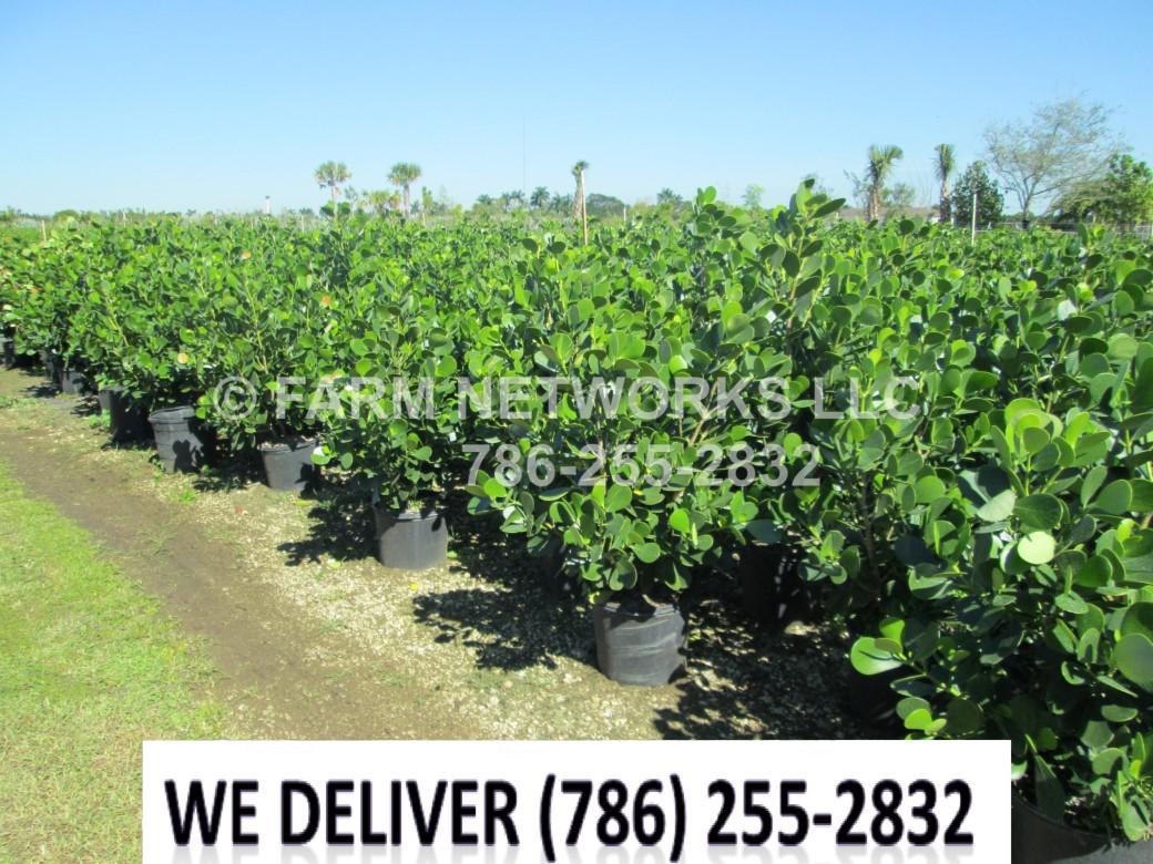 Tampa, FL-Clusia Plant Nursery