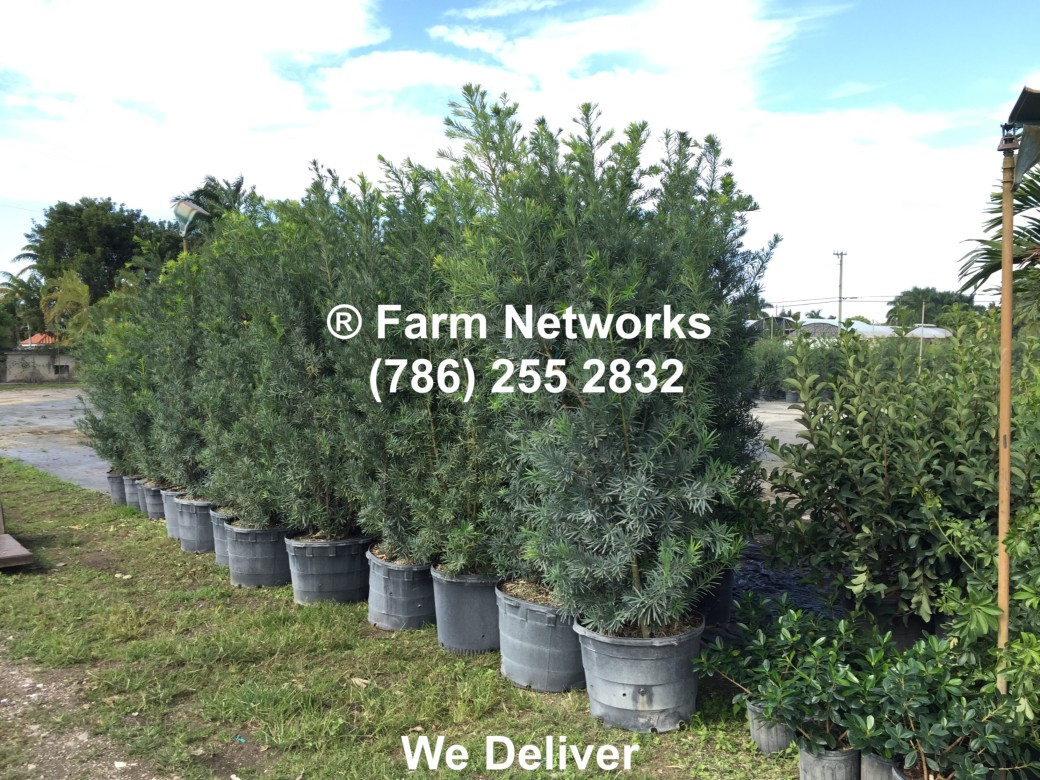 10-Gallon-Wholesale-Podocarpus-Price
