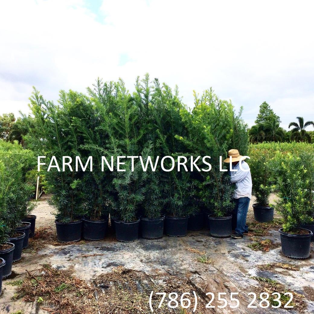 15-Gallon-Wholesale-Podocarpus-Price