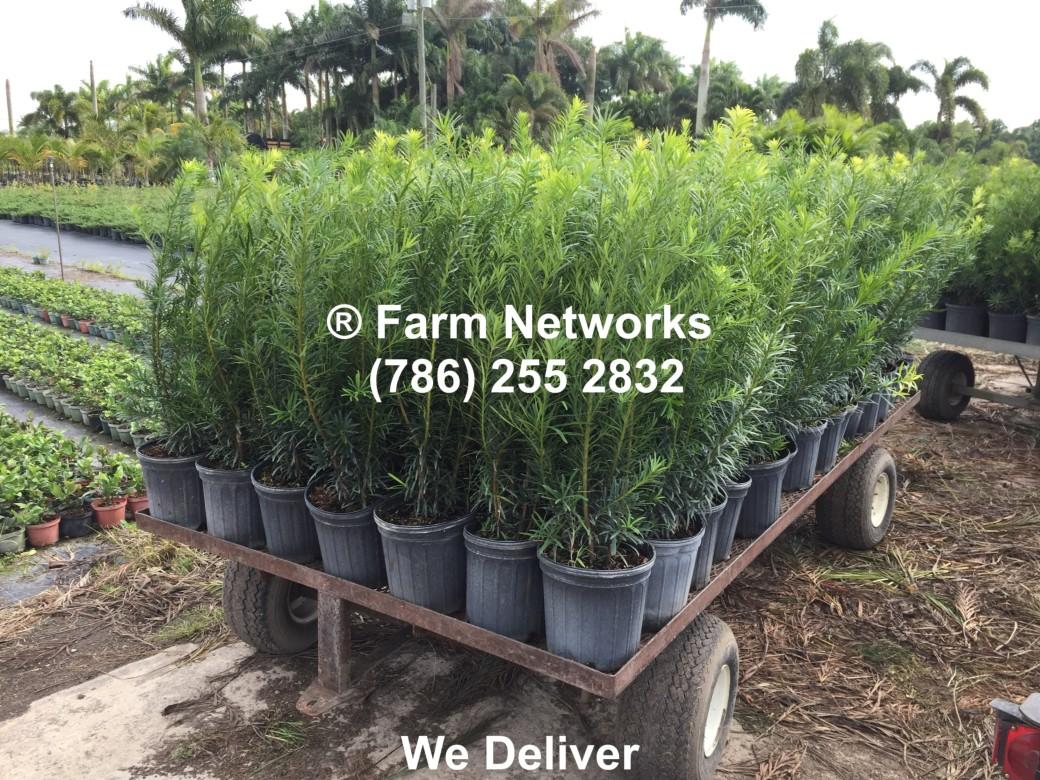 2-Gallon-Wholesale-Podocarpus-Price