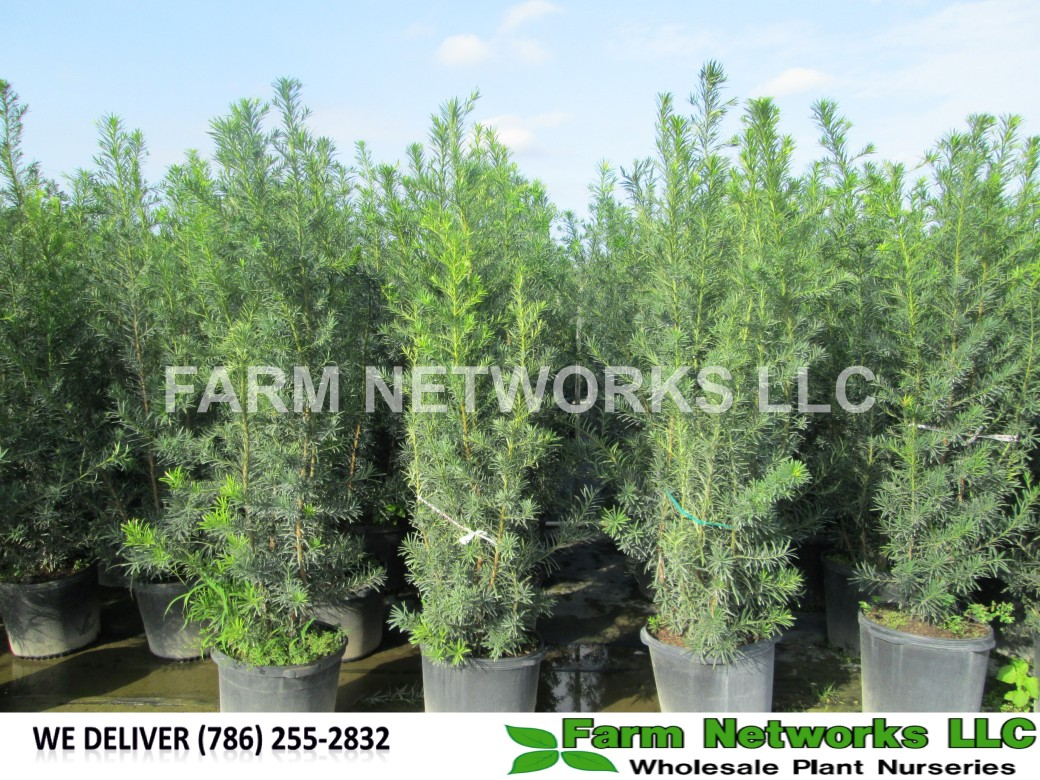 20-Gallon-Wholesale-Podocarpus-Price