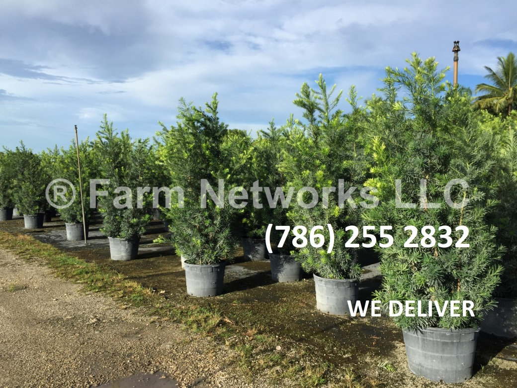 25-Gallon-Wholesale-Podocarpus-Price