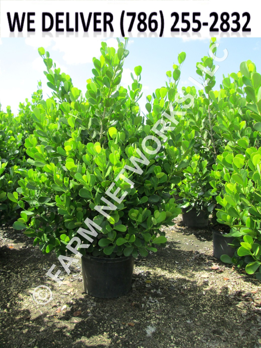 65-Gallon-Wholesale-Clusia-Price