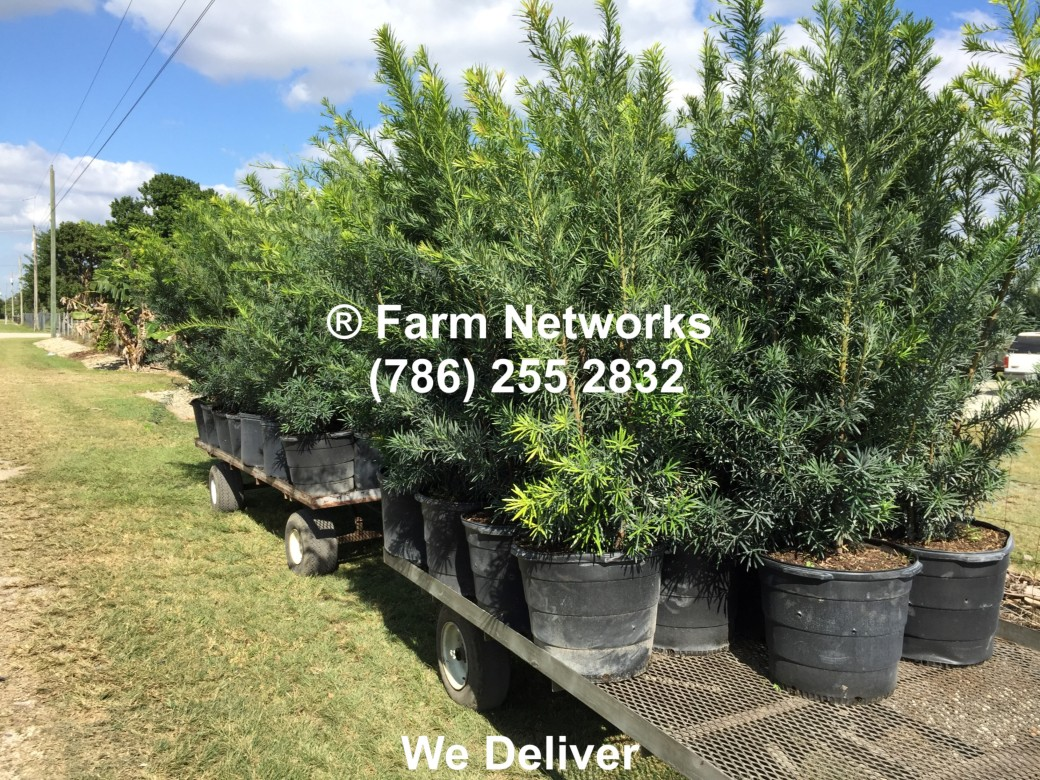 7-Gallon-Wholesale-Podocarpus-Price